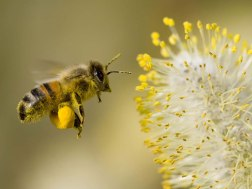 bee-collecting-pollen2